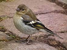 chaffinch female bird