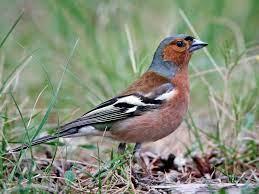 chaffinch male bird
