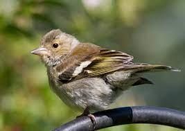 chaffinch juvenile bird